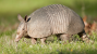 Armadillos Spread Leprosy in Florida: Are Dogs and Cats at Risk?