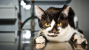 Aortic Thromboembolism in Cats