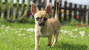 Chihuahua: From ancient companion to purse puppy