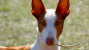 The Ibizan Hound