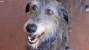 The Scottish Deerhound