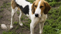 American Foxhounds