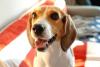 beagle heled by orthopedic ultrasound