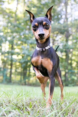 Miniature Pinscher outside in the grass