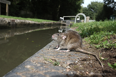 Wild rat by some water