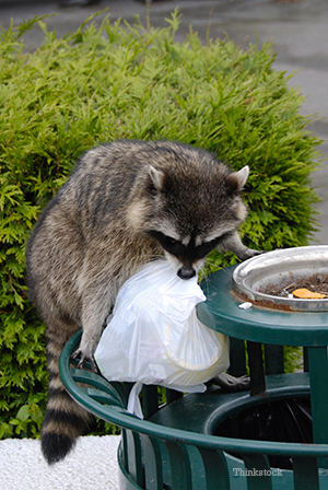 Raccoon on top of trash
