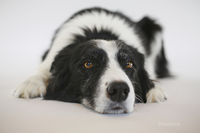 Canine Urinary Tract Infection, UTI in dogs