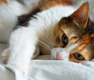 Feline Allergies Environmental Allergies And Food Alergies In Cats