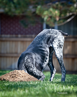 Dog digging hole in the backyard