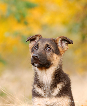 German Shephard dog puppy